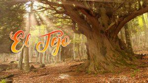 el tejo un árbol milenario